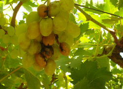 Botrytis-sur-grappe