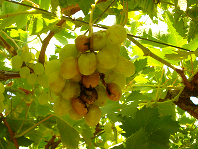 Botrytis-sur-grappes1